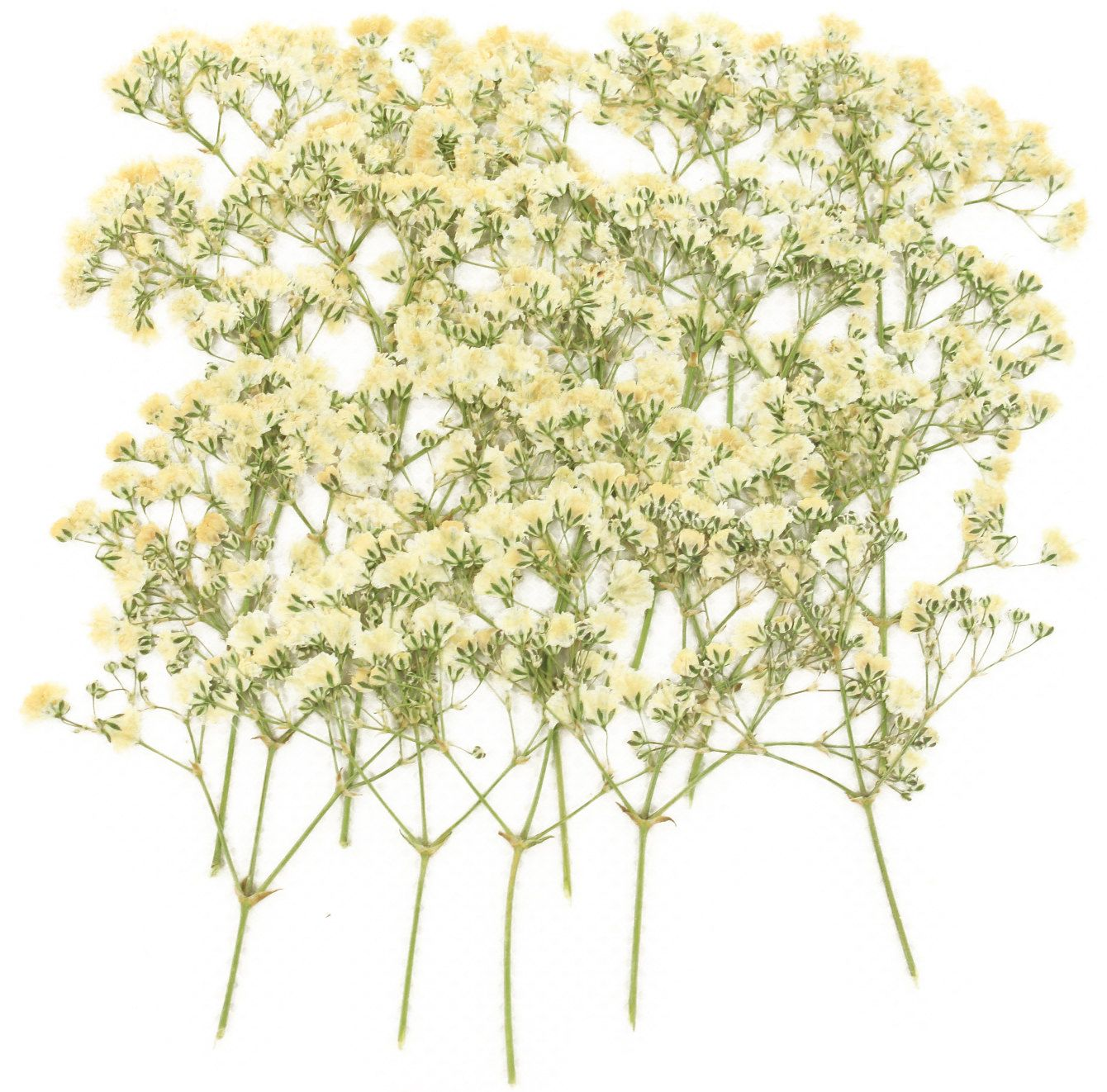 How to scrapbook dried flowers - Pressed Flowers White Baby Breath Gypsophila 20pcs For Floral Art Craft Card Making Scrapbooking Home Decoration