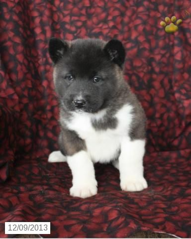Akita Puppies For Sale Lancaster Puppies Akita Puppies