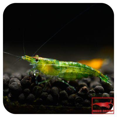 Green Jade Grad A Shrimp Aquariumshrimpfreshwater Nanoaquariumshrimp Aquariumshrimptanks Aquariumshrimpred Aquari Aquarium Fish Shrimp Tank Glass Shrimp