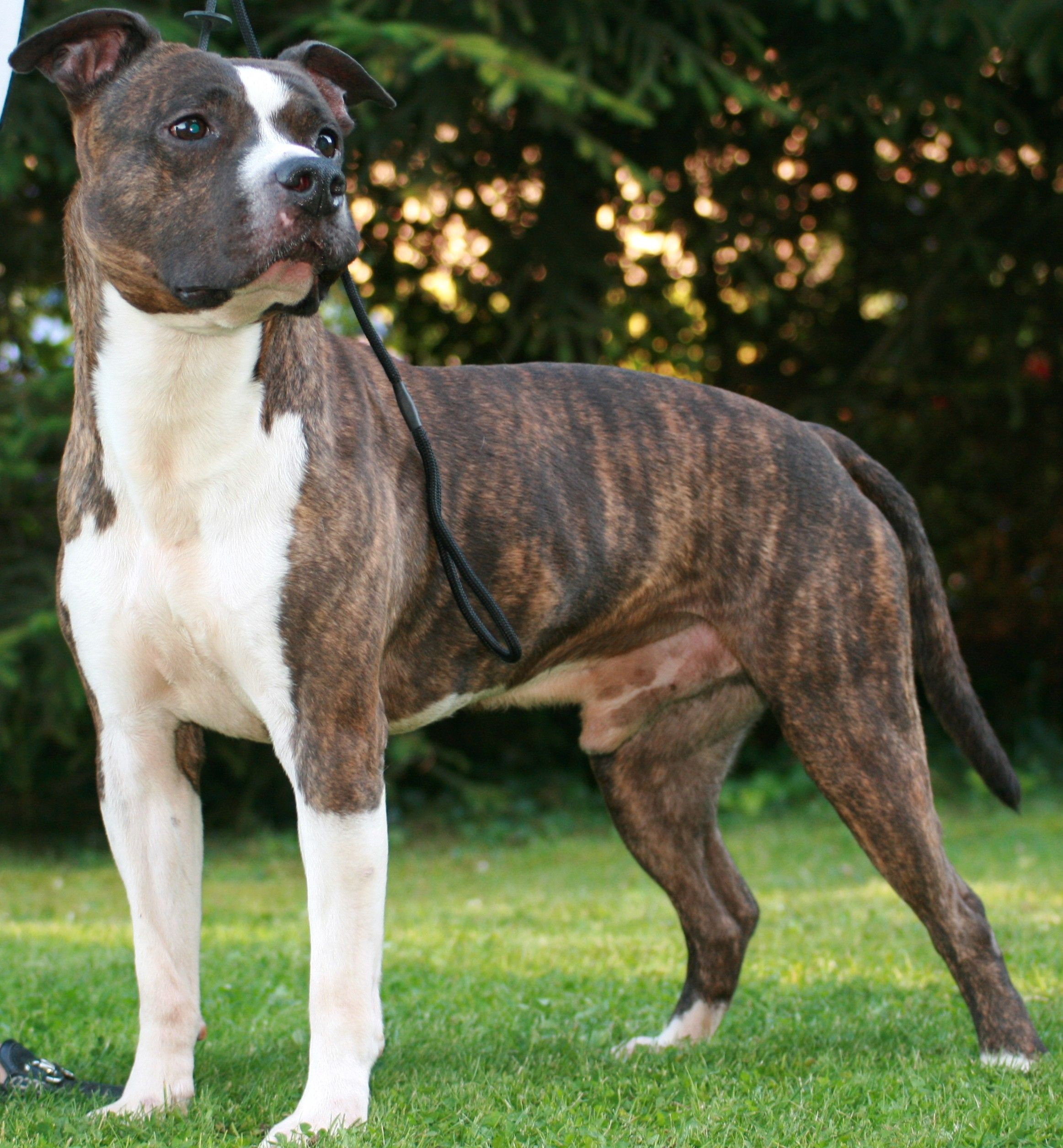 Amstaff With Images Beautiful Dog Breeds Baby Dogs Bully Dog