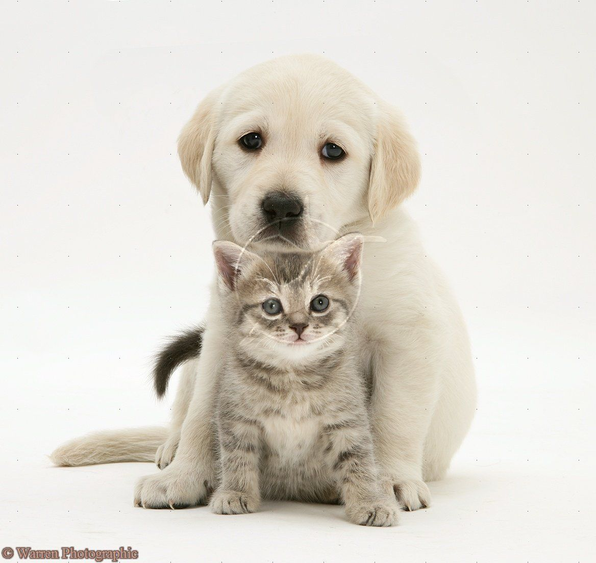 Pets Yellow Goldador Retriever Pup With Blue Tabby Kitten Photo Tabby Kitten Kitten Photos Puppies And Kitties