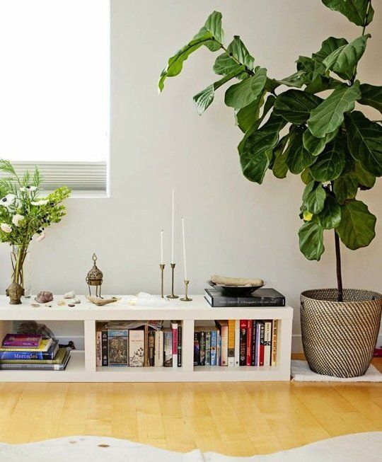 This Photo Friendly Tree Is The Og Designer Plant Home Yoga Room