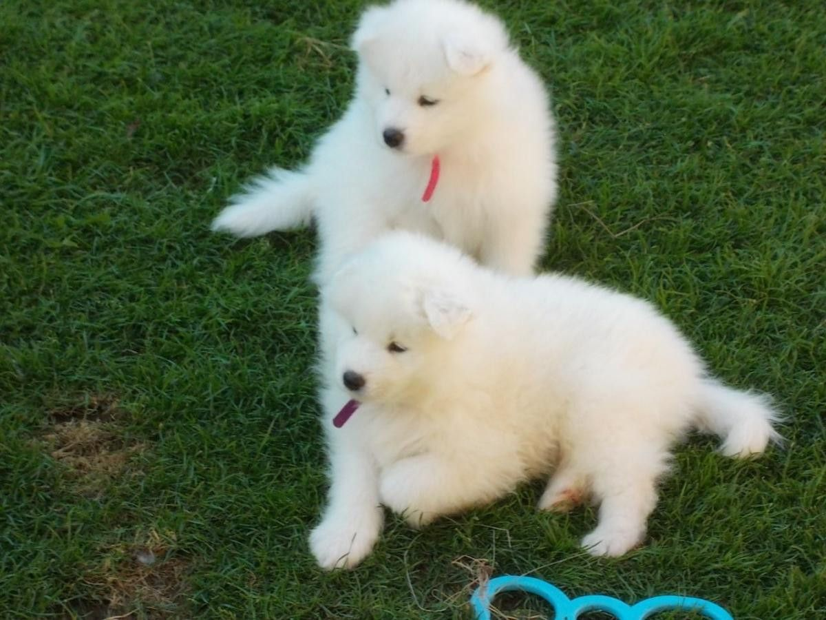 Samoyed Puppies For Sale Sacramento Ca Samoyed Puppies For