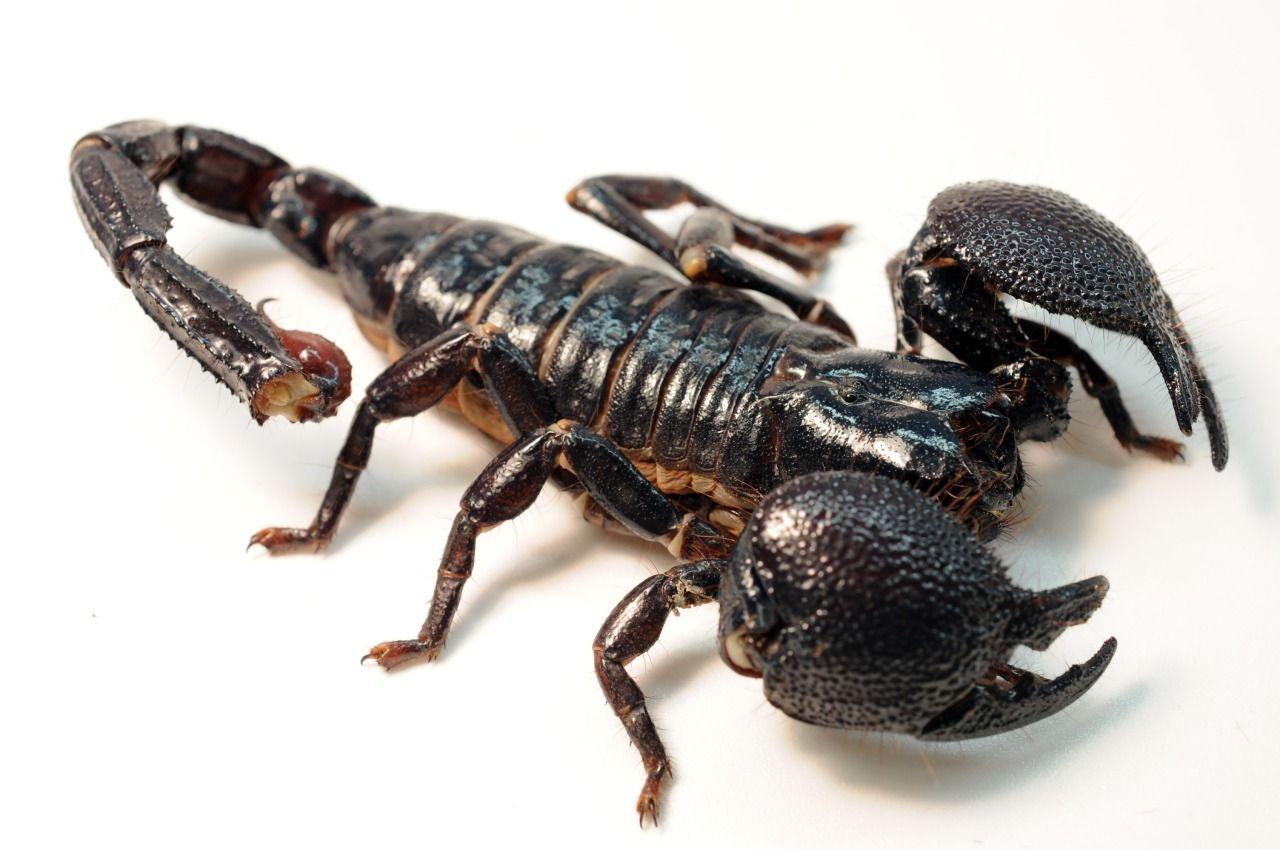 Download free Biggest Black Emperor Female Scorpion desktop ...
