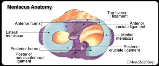 Lateral meniscus anatomy