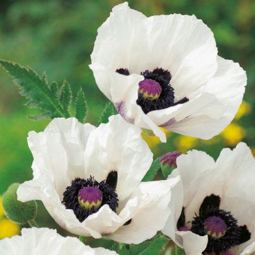 Turkischer Mohn Royal Wedding Papaver Orientale Royal Wedding Blumensamen Garten Schluter Und Turkischer Mohn