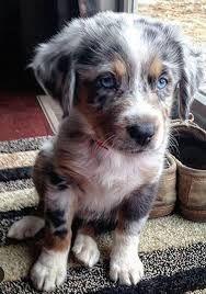 Top Australia Chubby Adorable Dog - 308665cd11e7ce5872ee52d4c4714cc4  2018_60904  .jpg