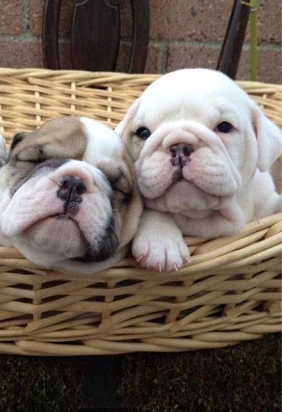 Beautiful Basket Babies English Bulldog Puppies Cute Animals Baby Animals