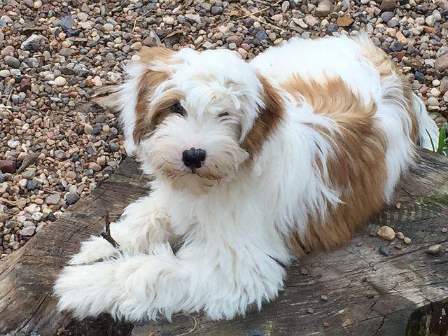 Trisong Tibetan Terriers Tibetan Terrier Terrier Puppies Terrier