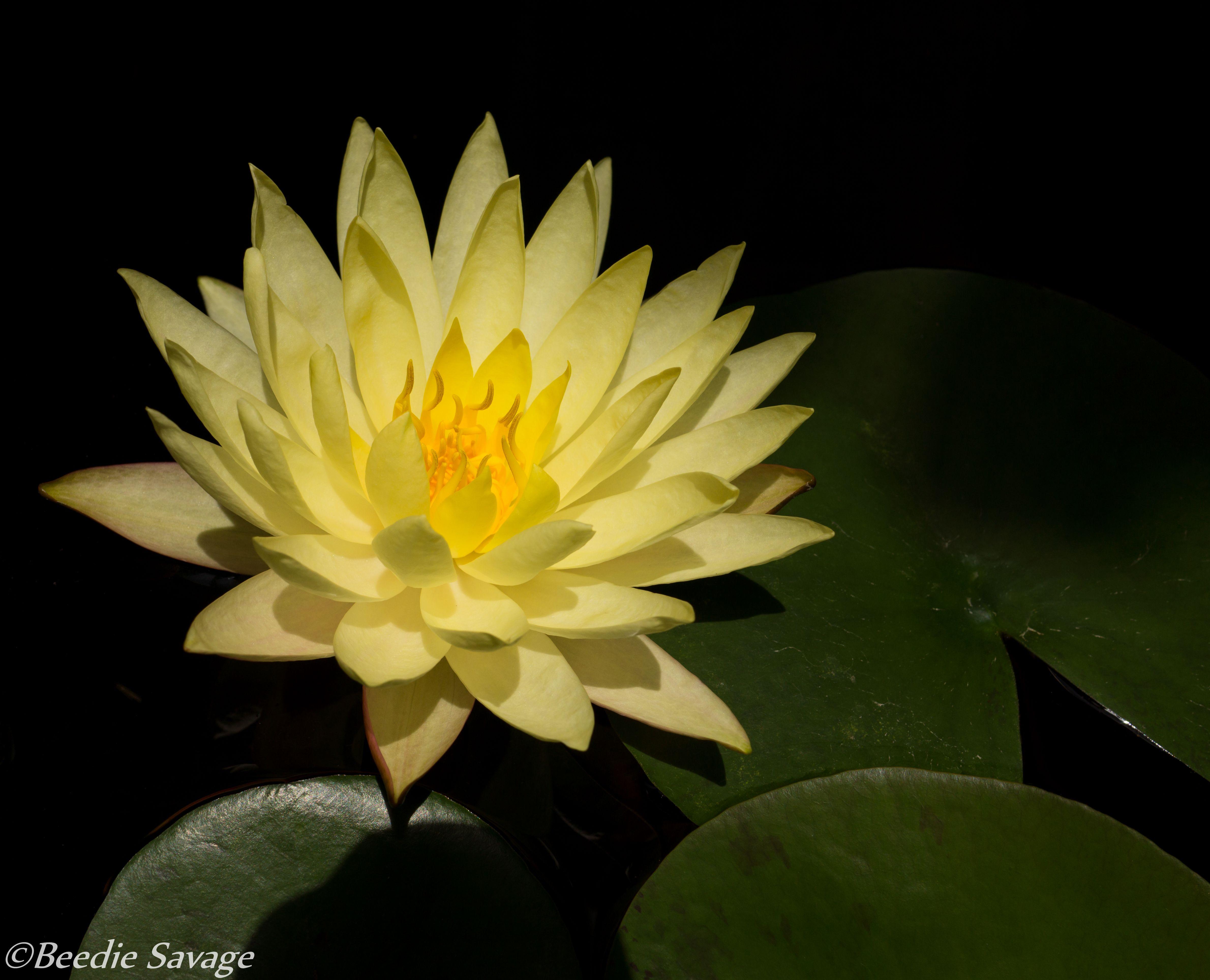 Lotus flower peace of mind lotus pinterest lotus and flowers lotus flower peace of mind mightylinksfo