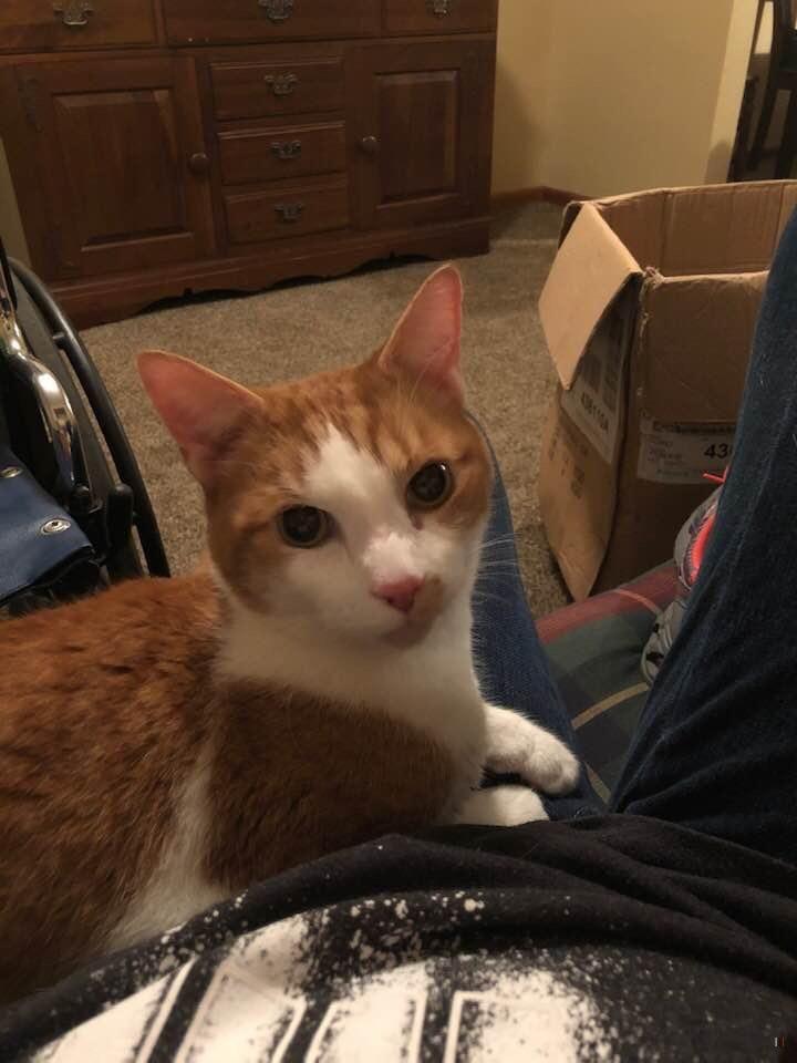 Back Home Cat Domestic Short Hair Hamilton, OH, USA