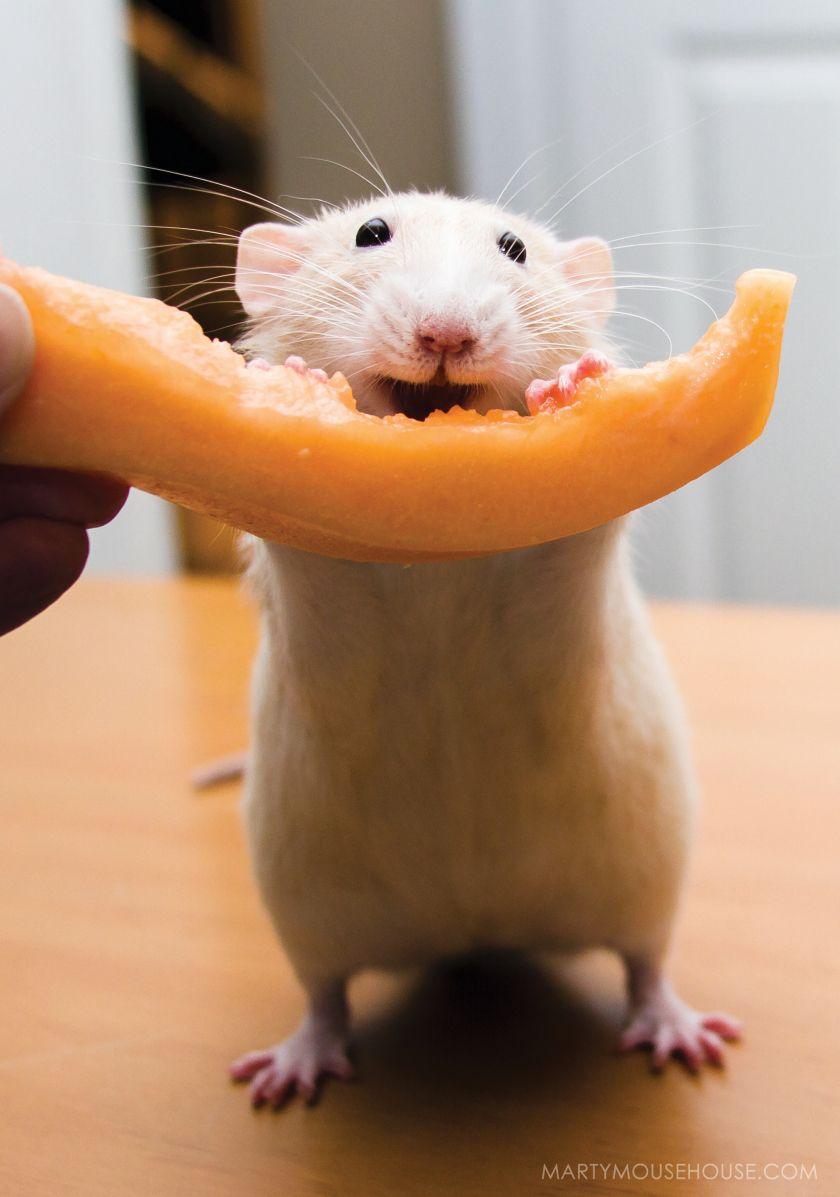 OM NOM! Pet rats, Cute rats, Cute small animals