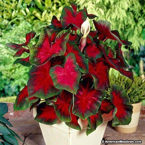 Florida Cardinal Caladium Plants Bulb Flowers Colorful