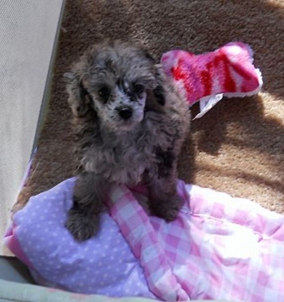 Silver Merle Toy Poodle Boy Now Almost Grown And Living In The