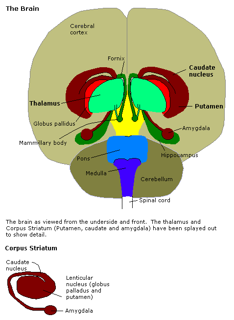 Anxiety and popular free helpful organizing methods anatomy human brain in the coronal orientation amygdalae are shown in dark red ccuart Images