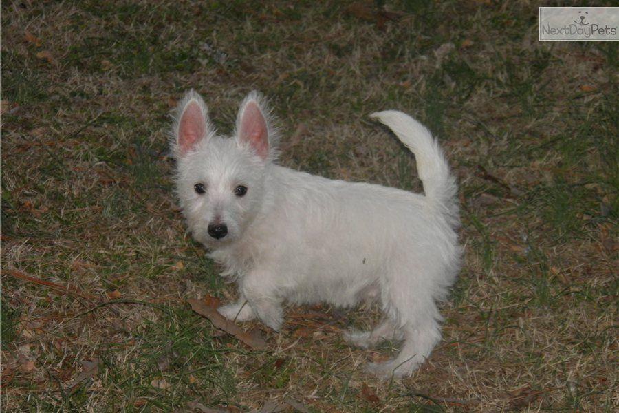 Meet Scooter Westie puppies, Westie puppies for sale