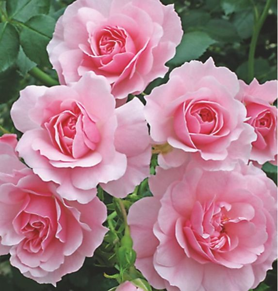 rose bonica 82 google s k growes in my garden. Black Bedroom Furniture Sets. Home Design Ideas