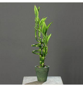 Home affaire Kunstpflanze »Glücksbambus« Jetzt bestellen unter: https://moebel.ladendirekt.de/dekoration/dekopflanzen/kunstpflanzen/?uid=2bb8b44e-91a7-5aa8-bdd8-f7bc14229213&utm_source=pinterest&utm_medium=pin&utm_campaign=boards #kunststoffpflanzen #dekopflanzen #kunstpflanzen #dekoration