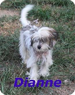 Waxhaw Nc Chinese Crested Shih Tzu Mix Meet Dianne A Dog For Adoption Http Www Adoptapet Com Pet 11383364 Waxhaw North Caroli Chinese Crested Dogs Pets