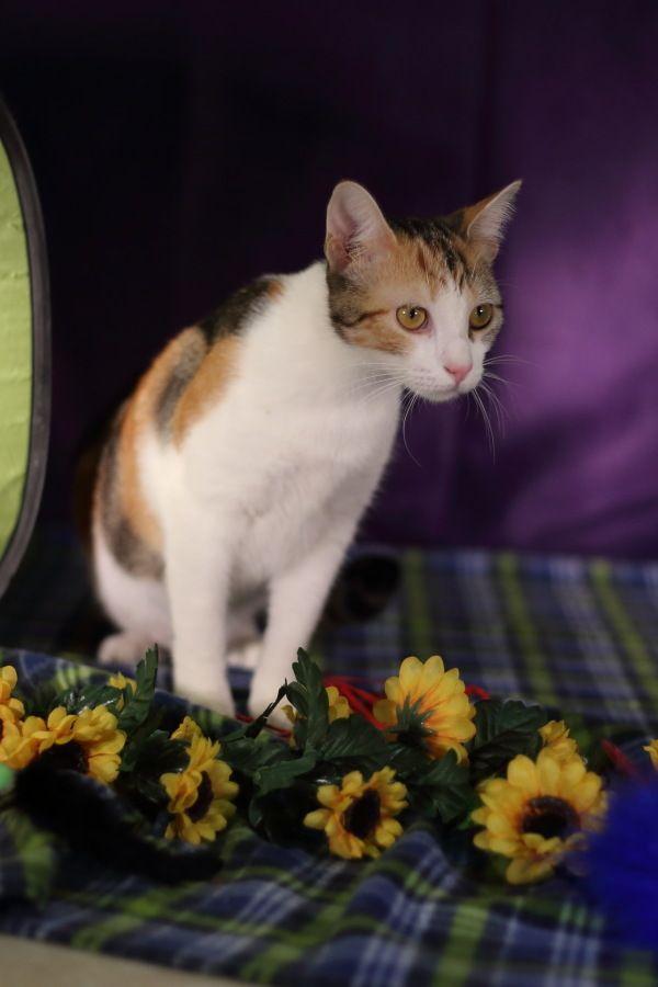 Adopt Destiny On Adoption Humane Society Cats