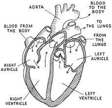 black and white    illustration       diagram    human heart  Google