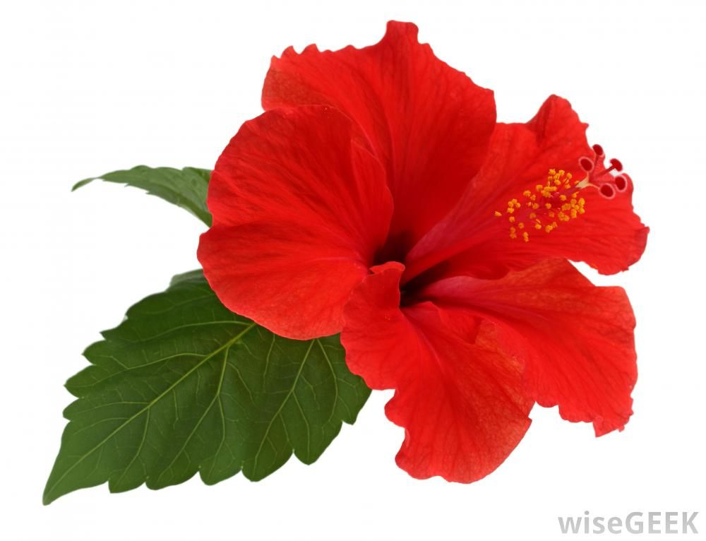 What Are The Uses Of Hibiscus Leaves With Pictures Hibiscus Leaves Growing Hibiscus Hibiscus Plant
