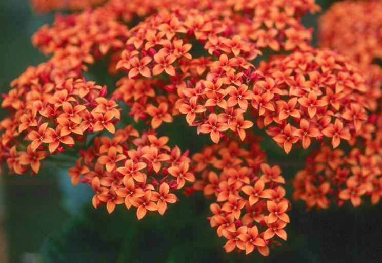 Fiori Kalanchoe.I Delicati Fiori Della Kalanchoe Flowers Indoor Flowering