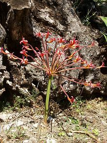 Brunsvigia Josephinae Brunsvigia Josephinae Commonly Called Josephine S Lily Or Candelabra Lily Is A Deciduous Subtropical Specie African Plants Bulb Plants