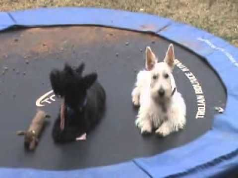 Hilarious Videos Of Scottish Terriers Scottish Terrier Puppy