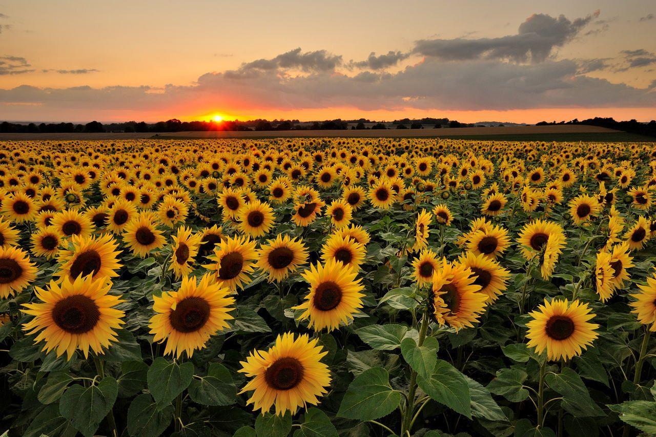 Pin by Funny Landmark on Flower | Sunflower wallpaper ...