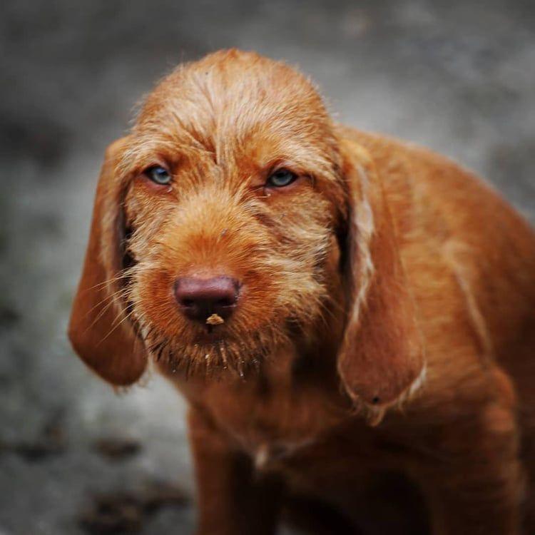 Vizsla puppies for sale dallas tx