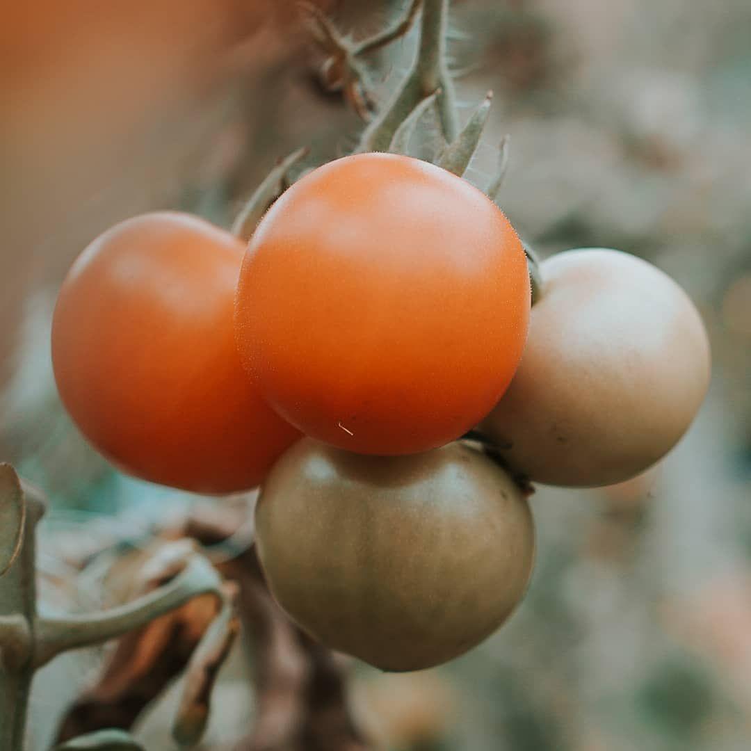 13+ Tomaten werden nicht gruen ideen