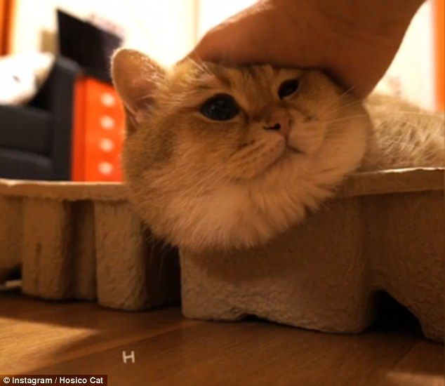 Cute Golden Cat Huffs And Puffs As He Tries To Fit In A Cardboard - Hosico the cat is pretty much the real life puss in boots