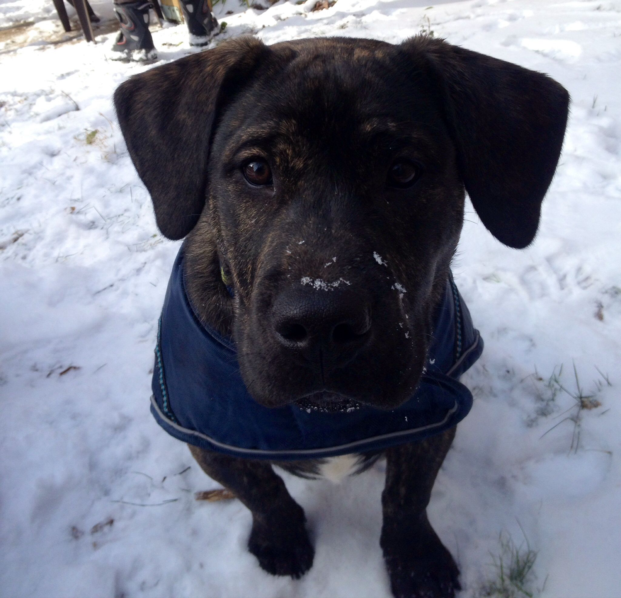 Black and brindle pitbull puppy 4 months old pitbull