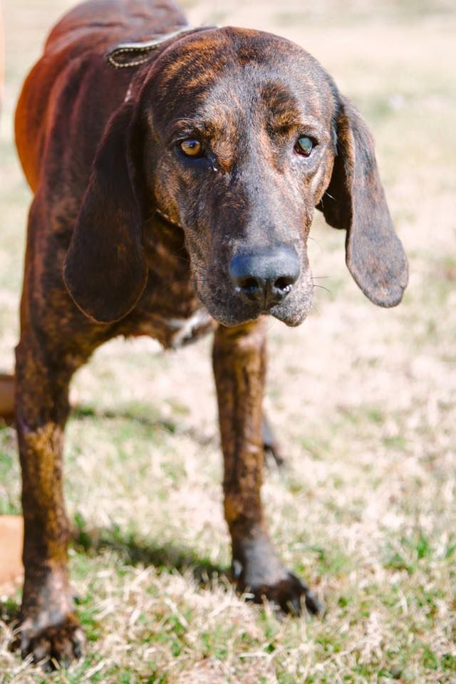 Union, SC: Plott Hound @ Union County Shelter #plotthound