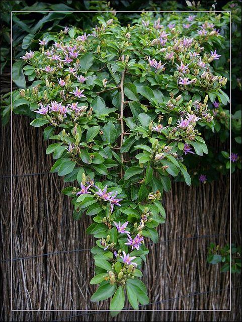 Branch Of Lavender Star Bush Mozambique Plants Shrubs