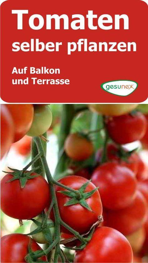 Tomaten selber pflanzen - auf Balkon und Terasse #tomatenpflanzen
