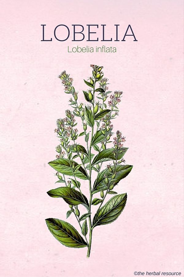 Lobelia Inflata Uses And Benefits As A Medicinal Herb Being Well