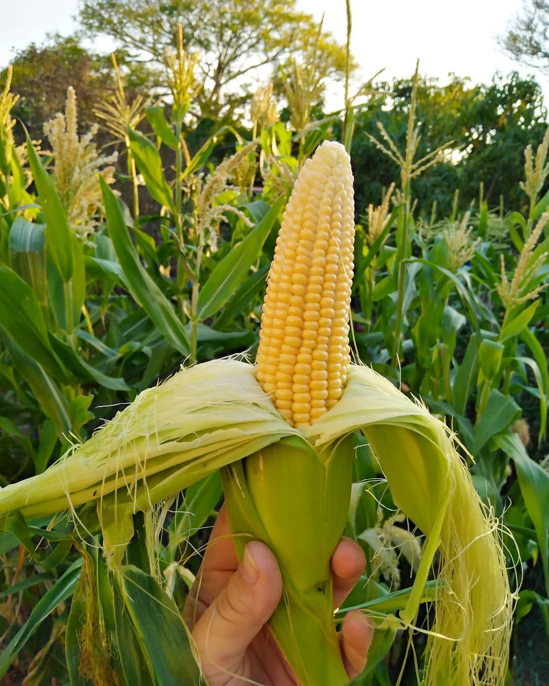 So Good Corn Is Starting To Be Ready Not What I Thought I Planted But This Is Amazing Eating Fresh Picked Food Garden Permaculture Gardening Growing Food