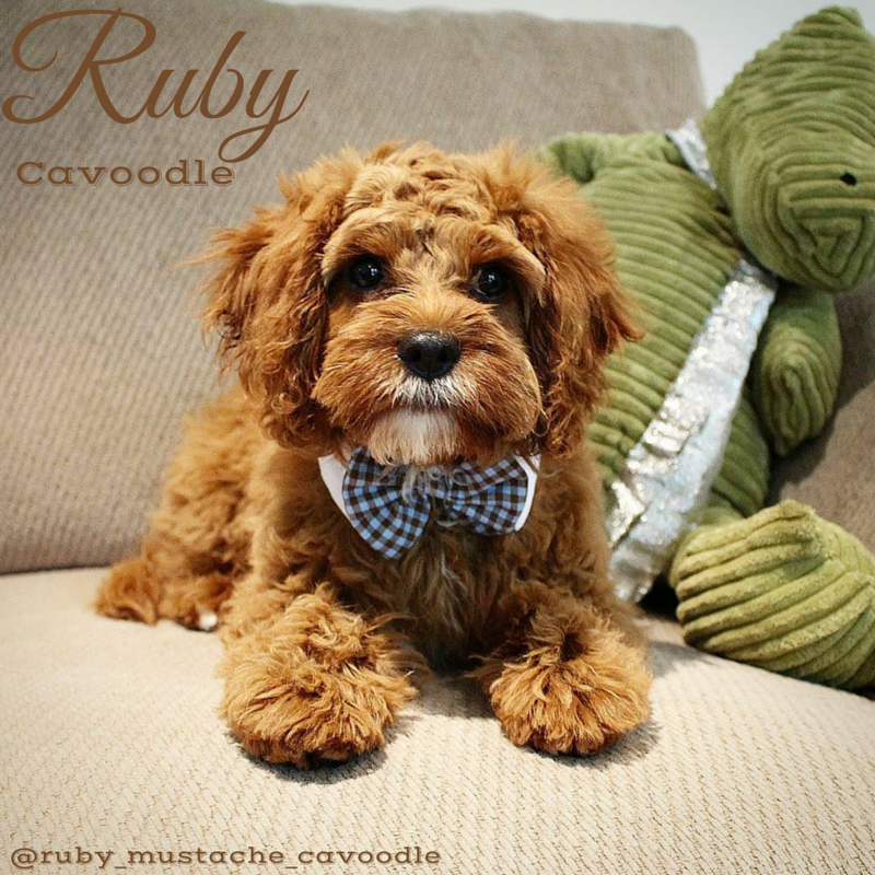 Ruby The Cavoodle Puppy Tales Puppies Cute Animals Cavachon