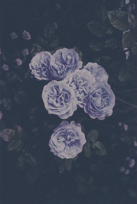 #violetti #blumen #flower #lilai #blaui #rosen #grnililai blaui grüni violetti    rosen blumen flowerlilai blaui grüni violetti    rosen blumen flower