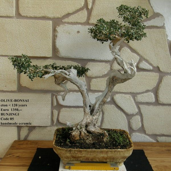 Olive bonsai olive bonsai 110 bonsai esthetics for Bonsai hydrokultur