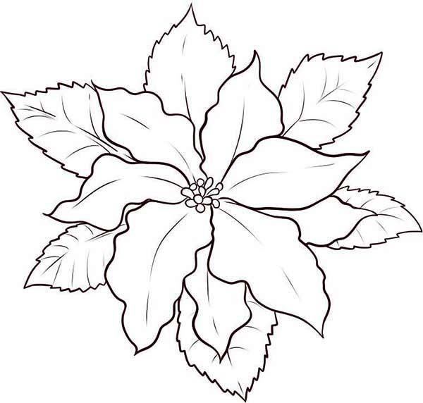 Poinsettia Day How To Draw Poinsettia For Poinsettia Day