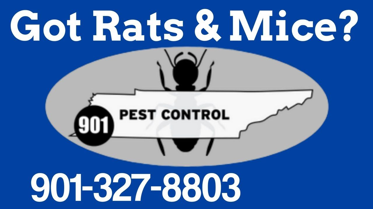 Rat Exterminator Memphis Tn Roof Rats Mice Extermination And Removal Memphis 901 Pest Control Rat Exterminator Roof Rats Pest Control