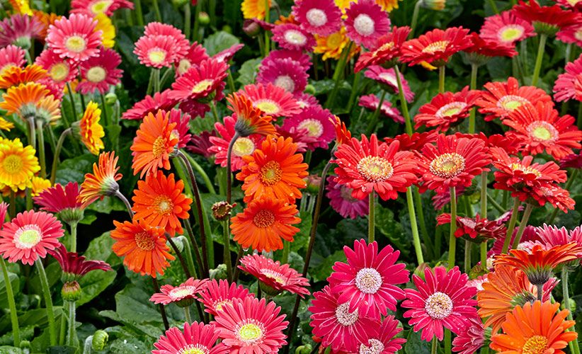 How To Grow Better Gerbera Daisies Gerbera Plant Gerbera Daisy Gerbera Daisy Care