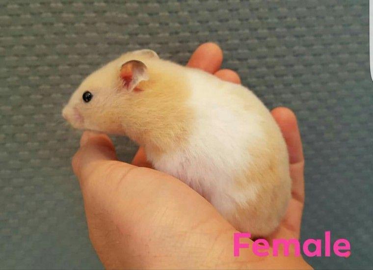Baby Hamsters 5 00 Each Hamster Baby Hamster Syrian Hamster