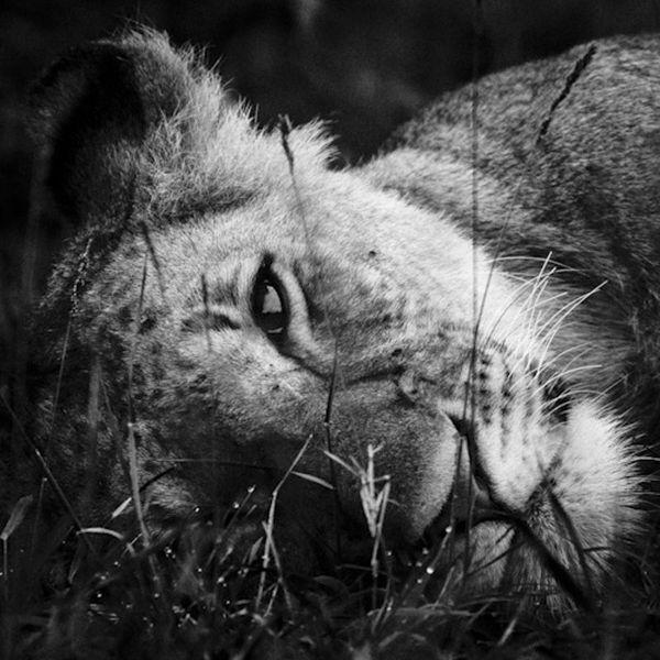 Lion Noir Et Blanc #15: Top 15 Des Plus Belles Photos Du0027animaux Du0027Afrique Par Laurent Baheux, Un  Séjour En Terre De Lions