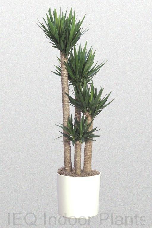 The Best Indoor Plants Office For Brisbane Including Zanzibar Gem Low Light And Tropical Australian Native Rainforest