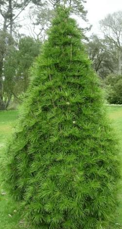 fc4cd1cdbf2f54 Sośnica JAPOŃSKA w 2019   dom   Rośliny, Rośliny w pojemnikach i Kwiaty
