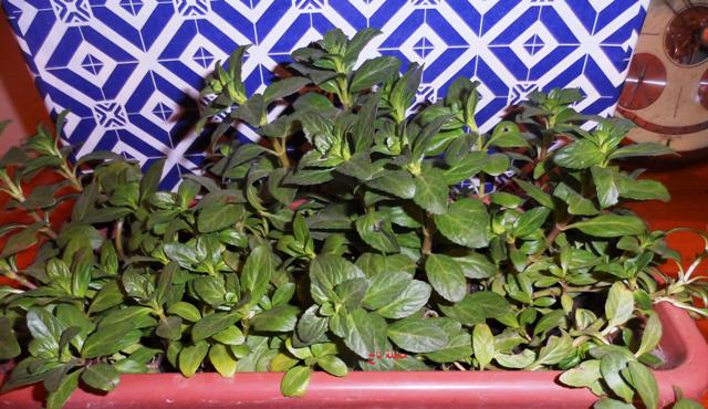 Menthe Des Marais Plants Blog Posts Blog